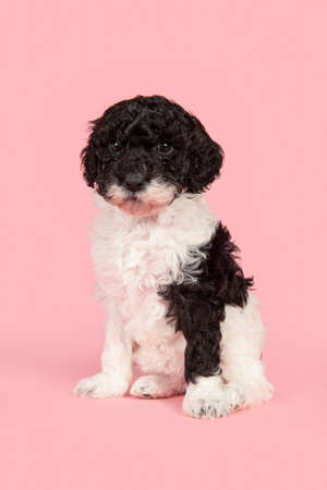 Cute black and white labradoodle puppy sitting seen from the front looking at the camera on a pink background
