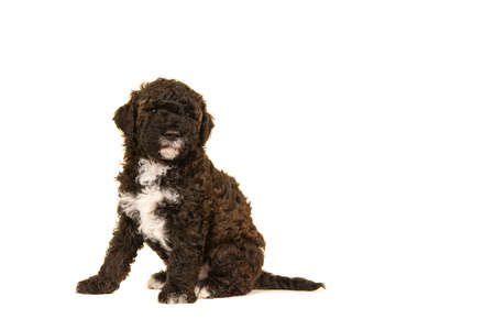 Cute brown labradoodle puppy sitting seen from the side isolated on a white background looking at the camera, with space for copy