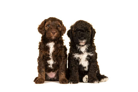 Two cute brown labradoodle puppy dogs sitting together isolated on a white background looking at the camera