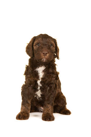 Cute brown labradoodle puppy sitting isolated on a white background looking at the camera