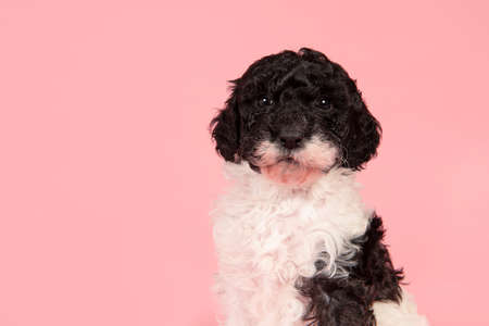 Portrait of a cute black and white labradoodle puppy looking at the camera on a pink background with space for copy 版權商用圖片