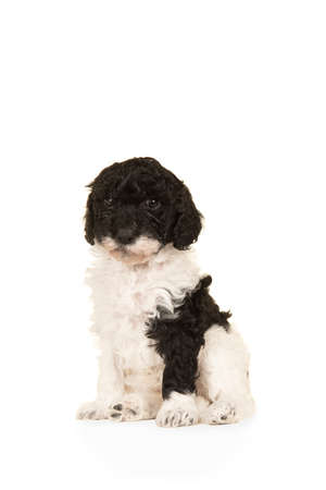 Cute black and white labradoodle puppy sitting seen from the side isolated on a white background looking at the camera, with space for copy
