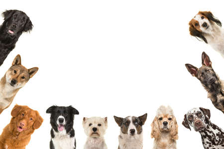 Portraits of different kind of breeds of dogs looking at the camera around the borders of the image with copy space in the middle isolated on a white background