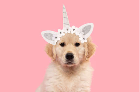 Portrait of a cute golden retriever puppy looking at the camera on a pink background wearing a unicorn diadem 版權商用圖片