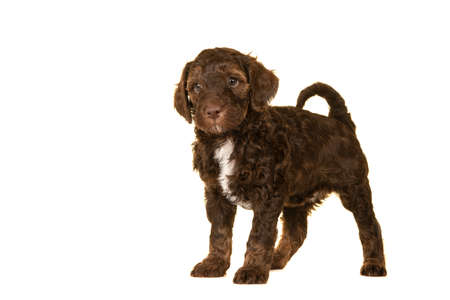 Cute brown labradoodle puppy standing isolated on a white background looking at the camera, with space for copy