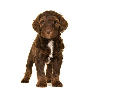 Cute brown labradoodle puppy standing isolated on a white background looking at the camera seen from the front with space for copy