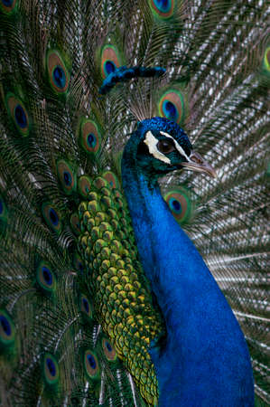 Peacock portrait with its feathers held up high in a full frame pattern
