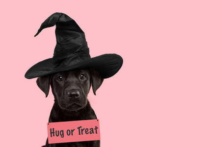 Portrait of a cute black labrador retriever puppy wearing a witch hat for halloween going for trick or treat with space for copy