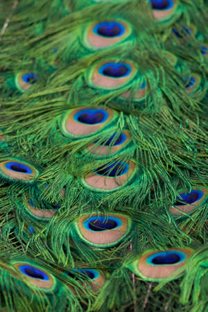Peacock tail feathers in a full frame pattern 版權商用圖片
