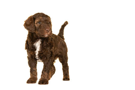 Cute brown labradoodle puppy standing isolated on a white background looking away with space for copy