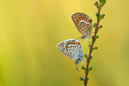 Couple of Silver-studded blue butterflies hanging on a heather plant covered with dew drops in the morning waiting for the sun