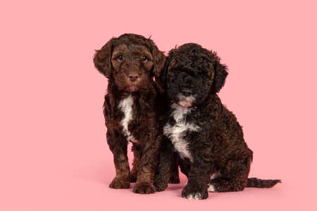 Two cute brown labradoodle puppy dogs sitting together looking at the camera on a pink background 版權商用圖片