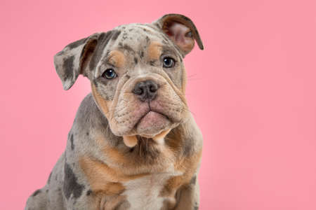 Portrait of a cute old english bulldog puppy looking at the camera on a pink background 版權商用圖片