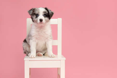Cute blue merle border collie puppy sitting on a white wooden chair on a pink background looking at the camera 版權商用圖片