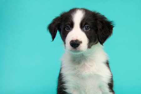 Portrait of a cute black and white border collie puppy looking at the camera on a turquoise blue background