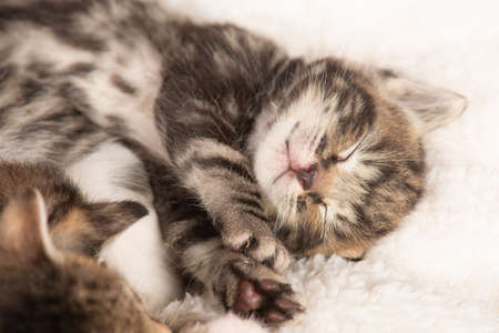 Cute tabby kitten sound asleep with eyes closed on a wihte cloth with its siblings 版權商用圖片