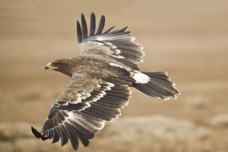 The Steppe Eagle flying close to the ground searching for pray photo