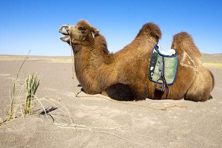 saddle camel: Camel ready for riding in gobi desert