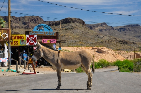 Stubborn donkey  on the street in the city of Oatman, Arizona