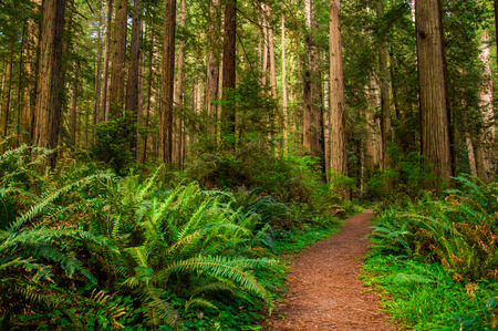 Giant trees and a hiking Path in Redwood Forest photo