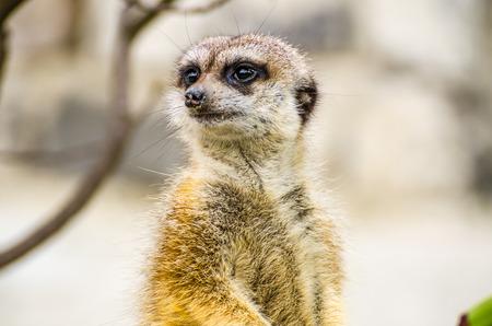 suricatta: Suricate or meerkat  Suricata suricatta  Stock Photo