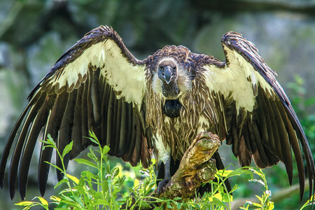 nacked: African White-backed Vulture   Gyps africanus