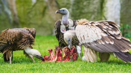 fulvus: European griffon vultures  Gyps fulvus fulvus  eating