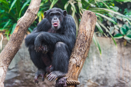 Western chimpanzee  Pan troglodytes verus  spending his time in a tree photo