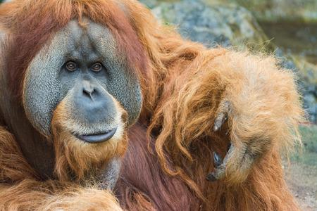 Portrait of Sumatran orangutan  Pongo abelii  Stock Photo - 29669616