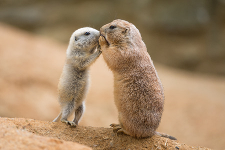 Adult prairie dog  genus cynomys   and a baby  sharing their food 스톡 콘텐츠