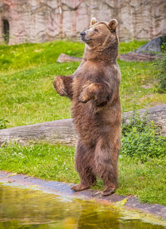 Brown bear  (Ursus arctos) standing on its hind legs
