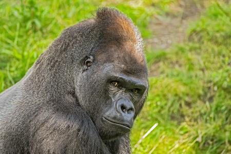 Portrait shot of a big western lowland gorilla 스톡 콘텐츠