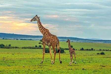 A mother giraffe with her baby. Maasai Mara National Reserve, Kenya. Foto de archivo