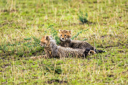 maasai mara: Two cheetah cubs (Acinonyx jubatus) relaxing on savannah. Maasai Mara National Reserve, Kenya. Stock Photo