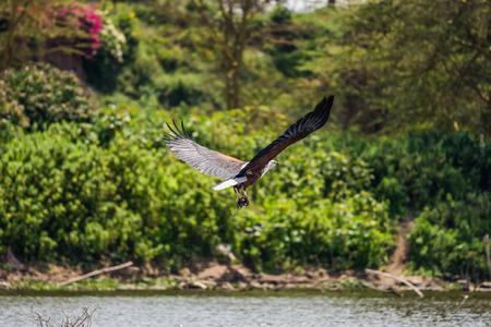 lake naivasha: African fish eagle (Haliaeetus vocifer) catching a fish, lake Naivasha, Kenya