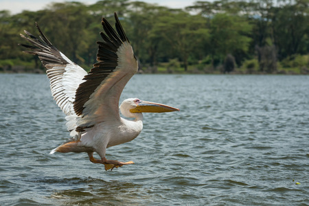 Great white pelican (Pelecanus onocrotalus) in flight at Lake Naivasha, Kenya photo