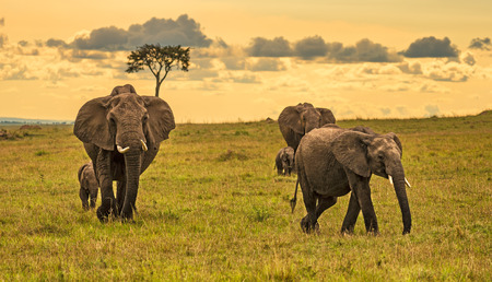 maasai mara: A herd of elephants (Loxodonta africana) with two babies, Maasai Mara National Reserve, Kenya