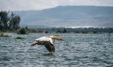 lake naivasha: Great white pelican (Pelecanus onocrotalus) in flight at Lake Naivasha, Kenya