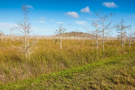Everglades national park: Dwarfed bald cypress trees in winter dormancy in Everglades National Park, Florida