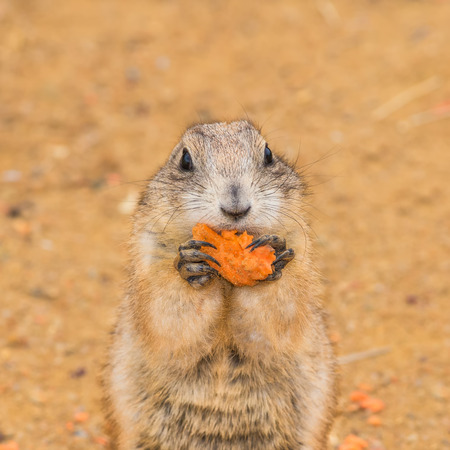 Prairie dog (genus cynomys)  eating a carrot