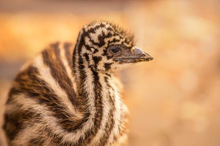 emu: Retrato de un bebé australiano Emu (novaehollandiae novaehollandiae)