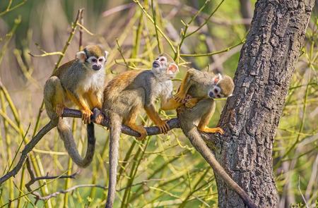 Three common squirrel monkeys (Saimiri sciureus) playing on a tree branch 스톡 콘텐츠