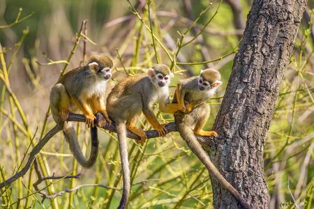 Three common squirrel monkeys (Saimiri sciureus) playing on a tree branch Foto de archivo