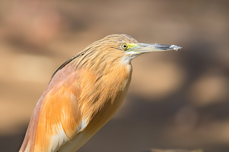 ardeidae: Portrait of  squacco heron (Ardeola ralloides)