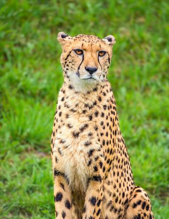 acinonyx: Portrait of cheetah (Acinonyx jubatus)