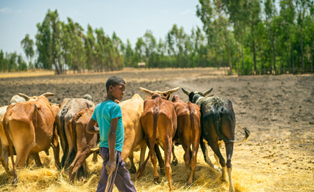 ADDIS ABABA, ETHIOPIA - MAY 1, 2015 : Ethiopian young boy using herd of oxen for threshing harvest.
