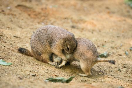 genus: Two adult prairie dogs (genus cynomys) play fighting