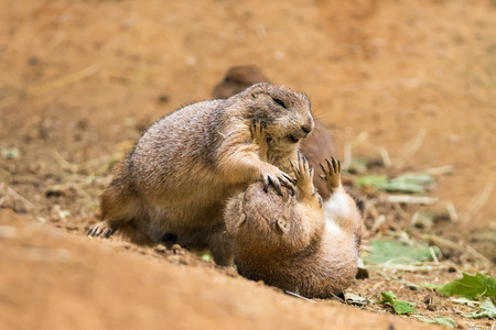 playful behaviour: Two adult prairie dogs (genus cynomys) fighting Stock Photo