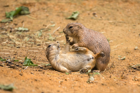 playful behaviour: Two adult prairie dogs (genus cynomys) play fighting