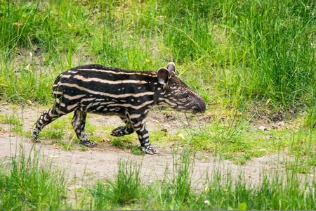 Nine days old baby of the endangered South American tapir (Tapirus terrestris), also called Brazilian tapir or lowland tapir 免版税图像